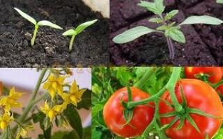 Що таке вегетація картоплі