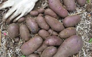 Картопля волошка відгуки