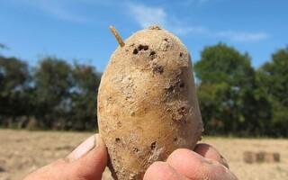 Хто їсть картоплю