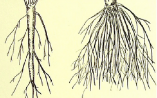 Коренева система картоплі мочковатая або стрижнева