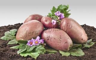 Картопля родзинка