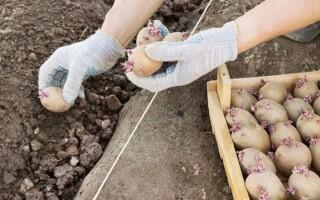 Народні прикмети висаджування картоплі