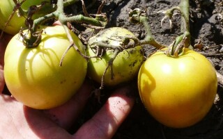 Сорти помідор з листям як у картоплі