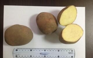 Підготовка картоплі до пророщування і обробка