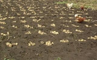 Легкий спосіб посадки картоплі