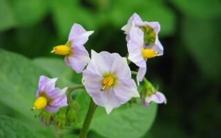 Квіти картоплі лікувальні властивості