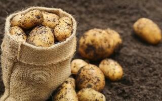 Метод посадки картоплі по Галина Олександрівна