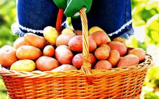 Картопля по термінах дозрівання