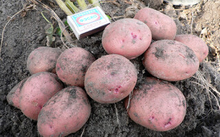 Сорт картоплі для пюре