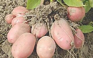 Картопля годувальниця