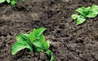Догляд за картоплею