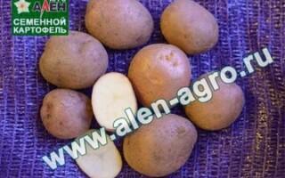 Картопля Любава