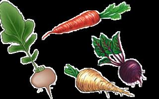 Цибулина лука коренеплід ріпи кореневище конвалії бульба картоплі