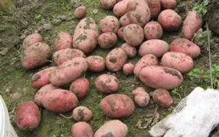 Сорт картоплі симфонія