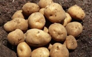 Сорт картоплі кібіц