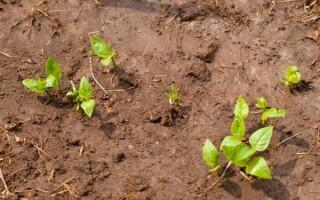 Підготовка землі для посадки картоплі