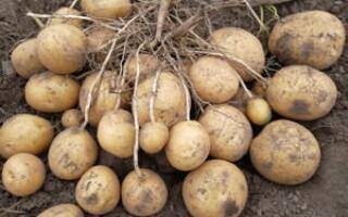 Картопля овоч або коренеплід