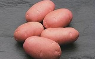 Картопля це покритонасінних рослин або голонасінна