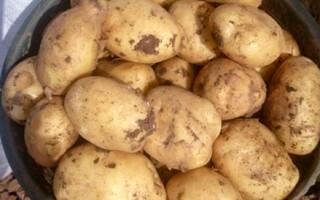 Картопля Ломоносовський характеристика сорту відгуки смакові якості
