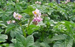 У картоплі квітки поодинокі або зібрані в суцвіття