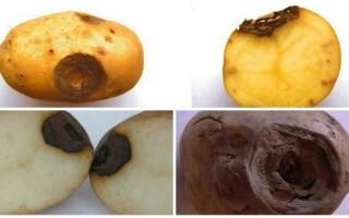 Що означають чорні вдавлені плями на картоплі