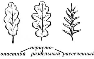 Листя картоплі прості або складні