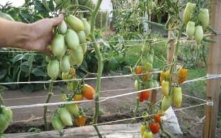 Чи можна садити картоплю після огірків