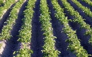 Посадка картоплі під крапельний полив