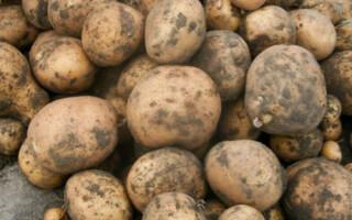 Картопля відгуки