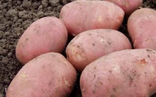 Картопля рокко
