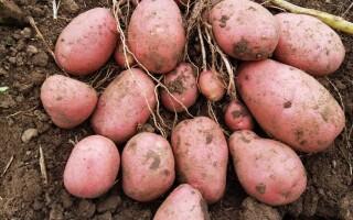 Картопля УНІКА