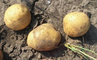 Картопля леді клер