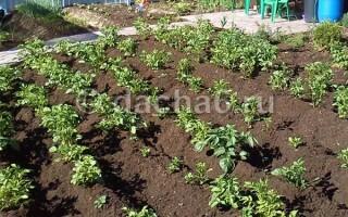 Метод посадки картоплі по Балабанову