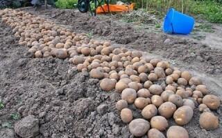Картопля насіннєва сорт ківі