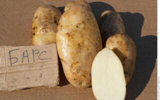 Картопля барс