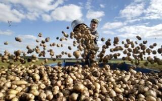 Врожайність картоплі з куща