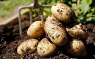 Бульба картоплі в сховищах покритий