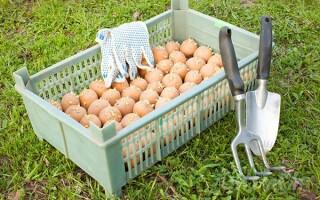 Обробка бульб картоплі перед посадкою від колорадського жука відгуки